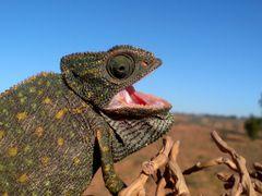 "chameleon by <b>[[{{ ""OSAMA BYALA"" }}]]</b> ( a Panoramio image )"