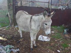 Donkey/Осёл/Osiol/ Magar by <b>longdistancer</b> ( a Panoramio image )