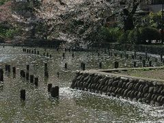 Last Cherry Blossoms of Spring by <b>itss_yyama</b> ( a Panoramio image )