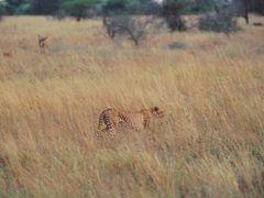 Ghepardo in caccia by <b>giulio colla</b> ( a Panoramio image )