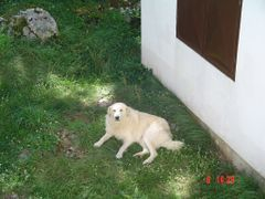Lukovo - Typcal Yugoslav shepherd dog relaxing in the grass by <b>Montenegrin77</b> ( a Panoramio image )