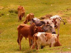 Adi Abeto Rinder auf der Weide by <b>AnJo Schuch</b> ( a Panoramio image )