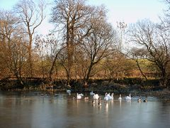 Swans near Castlecary by <b>j livingstone</b> ( a Panoramio image )