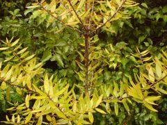 Kauri tree by <b>aikido54</b> ( a Panoramio image )