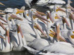 Pelicanos borregones, Petatan, Michoacan by <b>Jose Corona</b> ( a Panoramio image )