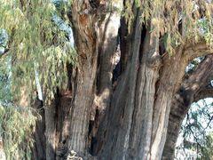 """Mexique, l""""arbre de Tule age de 2010 ans by <b>Roger-11</b> ( a Panoramio image )"""