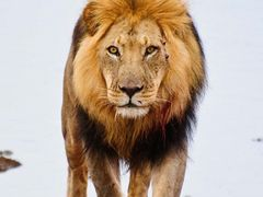 Lion, Addo National Park, South Africa by <b>Gilmour Family</b> ( a Panoramio image )