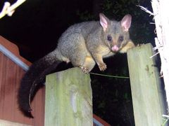 Brushtail Possum by <b>EcologistGreg</b> ( a Panoramio image )