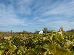 """Vignes, Ile d""""Orl?ans by <b>manuamador</b> ( a Panoramio image )"""