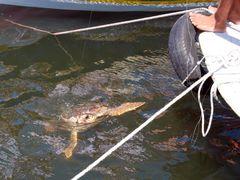 Turtle Careta careta in estuary river Dalyan (natural environmen by <b>majasa</b> ( a Panoramio image )