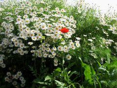 FLOWERS by <b>cohensharli</b> ( a Panoramio image )