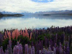 Lupins at Lake Takapo by <b>David & Lynda Weir</b> ( a Panoramio image )