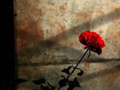 Sou Rosa Vermelha by <b>Beatriz Barreto Tanezini</b> ( a Panoramio image )