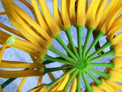 The Cycle of Life: Stenocarpus sinuatus var. by <b>Ian Stehbens</b> ( a Panoramio image )