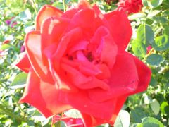 Rose by <b>maytrey</b> ( a Panoramio image )