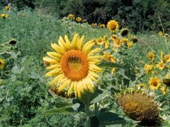 sunflower by <b>Dennyr</b> ( a Panoramio image )