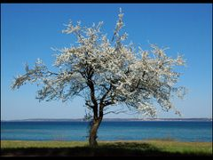Lone Tree With Ocean View by <b>Lui Brandt</b> ( a Panoramio image )