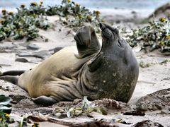 Lazy Elephant Seal by <b>baz995</b> ( a Panoramio image )