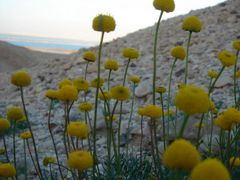 Dead Sea Yellow Flowers by <b>ionisraelmedia</b> ( a Panoramio image )