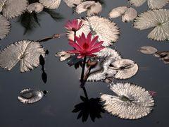 Flower in garden, The Royal Palace, Luang Prabang, Laos by <b>Placebo</b> ( a Panoramio image )