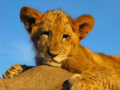 "Lion Park - King""s Cub by <b>d""Urban</b> ( a Panoramio image )"
