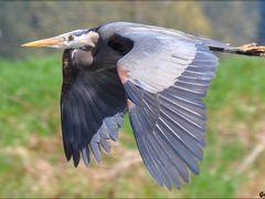Blue Heron in Flight by <b>Gabor Retei</b> ( a Panoramio image )