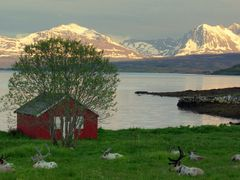 Resting reindeer by the sea by <b>Snemann</b> ( a Panoramio image )
