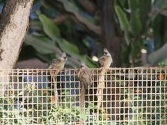 Birds Coliou raye garden Asmara by <b>Christian VIGNA</b> ( a Panoramio image )