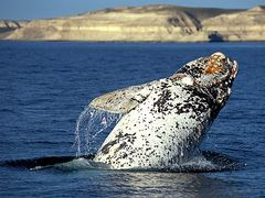 Right Whale by <b>Javier Etcheverry</b> ( a Panoramio image )