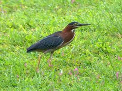 Green-backed heron / Montserrat (Butorides virescens) by <b>Yanti & Francois Beauducel</b> ( a Panoramio image )