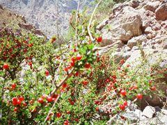 Gadzir, dwarf cherry by <b>igor_alay</b> ( a Panoramio image )