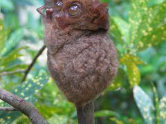 smallest monkey (philippine tarsier) by <b>rolandbirkle</b> ( a Panoramio image )