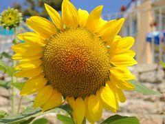 Golden sun flower by <b>bogdanm101</b> ( a Panoramio image )