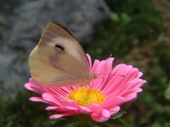 Small White (???) by <b>Maz-m</b> ( a Panoramio image )