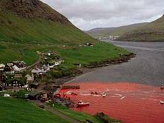 Whale massacre. denmark/faroe ?slands by <b>koparal,Kafkasyal?-Turkei</b> ( a Panoramio image )
