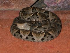 A young Fer-de-Lance snake (Bothrops asper) in restaraunt in Esq by <b>Huw Harlech</b> ( a Panoramio image )