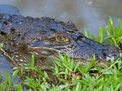 Beware the Caiman ! Esquinas Rainforest Lodge by <b>Huw Harlech</b> ( a Panoramio image )