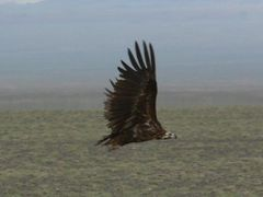 Black Vulture (Mnchsgeier) immature by <b>LeBoque</b> ( a Panoramio image )