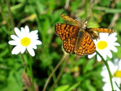 BUTTERFLY IN LOVE by <b>Dancos</b> ( a Panoramio image )