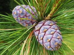 Pinus cembra cones, June 2009 by <b>hronty</b> ( a Panoramio image )
