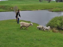 Catching Sheep by <b>steve111</b> ( a Panoramio image )