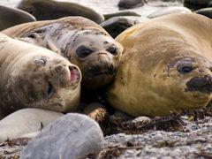 Elephant Seals by <b>enriquevidalphoto.com</b> ( a Panoramio image )