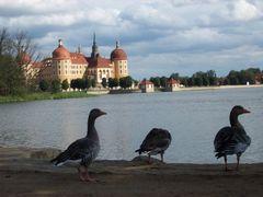 Ganse vor Schloss Moritzburg by <b>Frank Pustlauck</b> ( a Panoramio image )