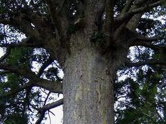 Massive Kauri Tree! by <b>Cutler Creations</b> ( a Panoramio image )