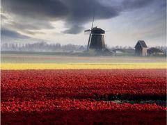 Tulips and Windmills by <b>Adam Salwanowicz</b> ( a Panoramio image )
