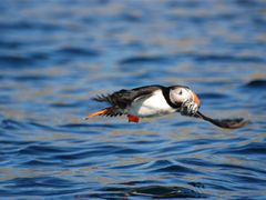 Puffin by <b>kristine hannon</b> ( a Panoramio image )