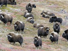 Musk-oxen in Chesterfield Inlet, Nunavut by <b>tundratom</b> ( a Panoramio image )