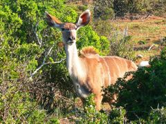Kudu in Addo  National Park by <b>H.J. van Zyl</b> ( a Panoramio image )
