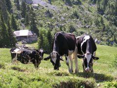 Vaches fribourgeoises au pied des Gastlosen by <b>David Vaucher</b> ( a Panoramio image )