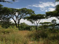 Acacia abyssinica by <b>Dr. Thomas Wagner</b> ( a Panoramio image )